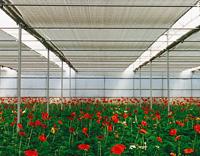 Pantallas térmicas en cultivo de gerberas