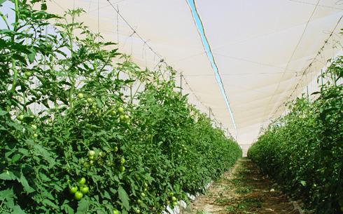 Mallas agrícolas de monofilamento en una instalación de tomates